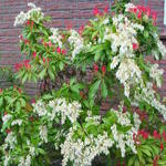 Pieris - Rotsheide