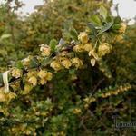 Berberis  thunbergii - Berberis  thunbergii - Japanse zuurbes