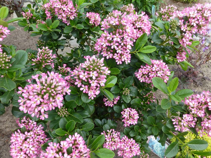 escallonia escallonia leavis 39 pink elle 39. Black Bedroom Furniture Sets. Home Design Ideas