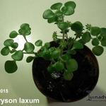 Aichryson laxum  - Aichryson laxum  - Aichryson