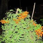 Pyrostegia venusta - Pyrostegia venusta - Vlamtrompet, Oranje trompet
