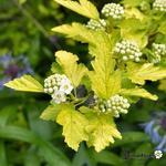 Physocarpus opulifolius 'Nugget' - Blaasspirea, Sneeuwbalspirea - Physocarpus opulifolius 'Nugget'