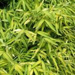 Pleioblastus viridistriatus  - Dwergbamboe - Pleioblastus viridistriatus