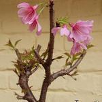Prunus incisa 'Paean' - Japanse sierkers - Prunus incisa 'Paean'