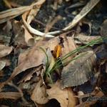 Crocus chrysanthus 'Zwanenburg Bronze' - Crocus chrysanthus 'Zwanenburg Bronze' - Krokus