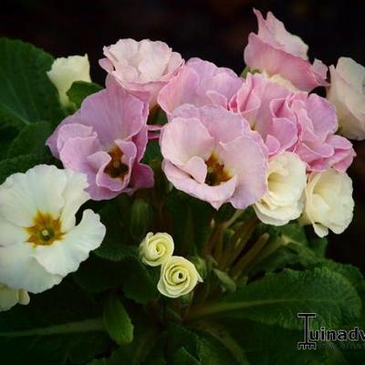 Primula vulgaris 'Bellerose' -