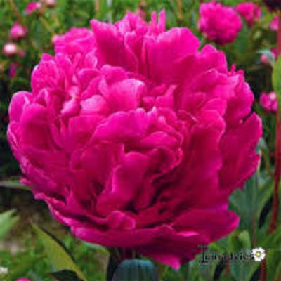 Paeonia lactiflora 'Kansas' -