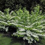 Viburnum plicatum var. tomentosum  - Japanse sneeuwbal - Viburnum plicatum var. tomentosum