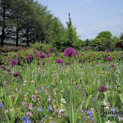 Allium hollandicum 'Purple Sensation'  - Sierui
