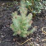 Pinus pinea 'Silver Crest' - Pinus pinea 'Silver Crest' - Parasolden