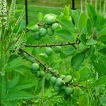 Prunus domestica 'Opal' - Pruimelaar - Prunus domestica 'Opal'