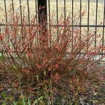 Spiraea japonica 'Firelight' - Spierstruik - Spiraea japonica 'Firelight'
