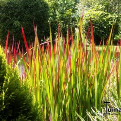 Imperata cylindrica 'Red Baron' - Japans bloedgras