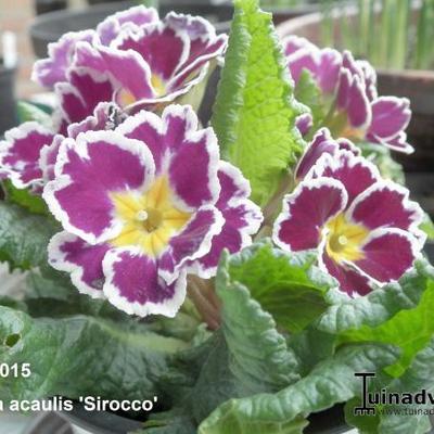 Primula vulgaris 'Sirocco' -