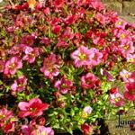 Saxifraga x arendsii 'TOURAN Neon Rose' - Saxifraga x arendsii 'TOURAN Neon Rose' - Steenbreek