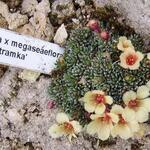 Saxifraga x megaseaeflora 'Bertramka' - Saxifraga x megaseaeflora 'Bertramka' - Steenbreek