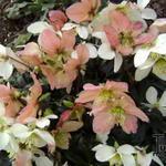 Helleborus niger 'Christmas Carol' - Kerstroos - Helleborus niger 'Christmas Carol'