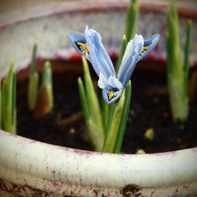 Iris reticulata 'Pixie'  -