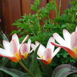 Tulipa 'Heart's Delight' - Tulp - Tulipa 'Heart's Delight'
