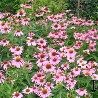 Echinacea purpurea 'Magnus' - Rode zonnehoed - Echinacea purpurea 'Magnus'