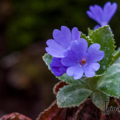 Primula marginata 'Baldock's Purple' -