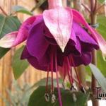 Fuchsia 'Hulshorst Bloei' -