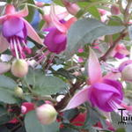 Fuchsia 'Jollies Force Dijon' - Bellenplant