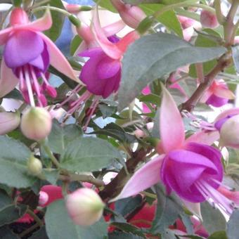 Fuchsia 'Jollies Force Dijon'