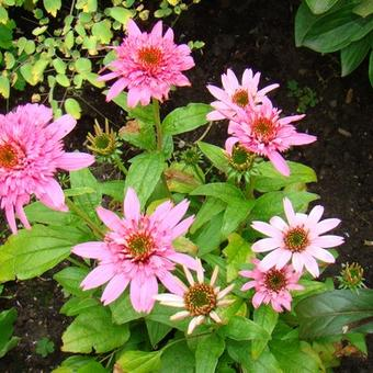 Echinacea purpurea 'Pink Double Delight'