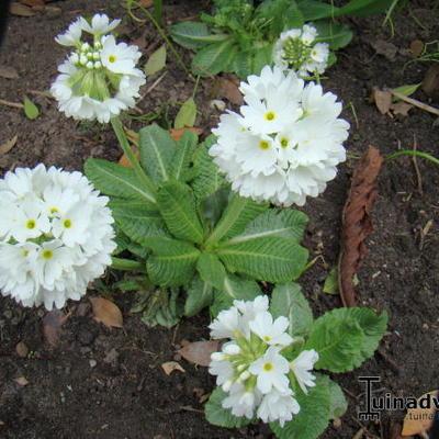 Primula denticulata 'Alba' -