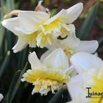 Narcissus 'Ice King' - Narcis