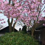 Prunus serrulata 'Kanzan'  - Japanse sierkers - Prunus serrulata 'Kanzan'