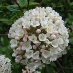 Viburnum x burkwoodii - Sneeuwbal - Viburnum x burkwoodii