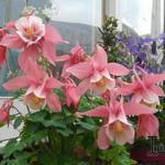 Aquilegia flabellata 'CAMEO Pink & White' - Akelei - Aquilegia flabellata 'CAMEO Pink & White'