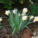 Narcissus 'Salome' - Narcis