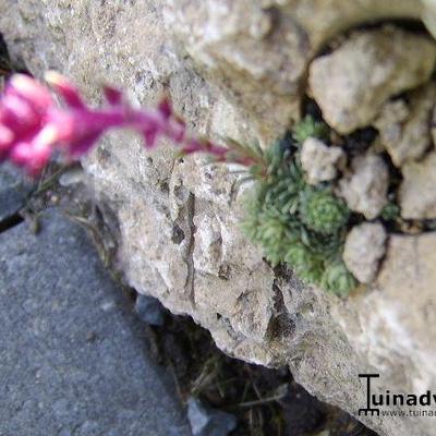 Saxifraga sempervivum form stenophylla -