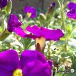 Aubrieta gracilis 'KITTE Purple' - Aubrieta gracilis 'KITTE Purple' - Randjesbloem
