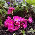 Primula rosea 'Gigas' - Sleutelbloem - Primula rosea 'Gigas'