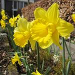 Narcissus - Narcis