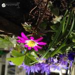 Anemone blanda var. rosea 'Radar' - Anemone blanda var. rosea 'Radar' - Oosterse anemoon