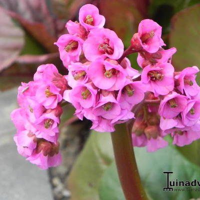 Bergenia cordifolia 'Purpurea' - Schoenlappersplant - Bergenia cordifolia 'Purpurea'