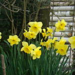Narcissus 'Yellow Sun'  - Narcis