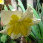 Narcissus ´Smiling Twin´  - Narcis, Spleetkronige narcis
