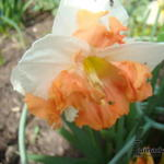 Narcissus 'Sunny Girlfriend' - Narcis, Spleetkronige narcis