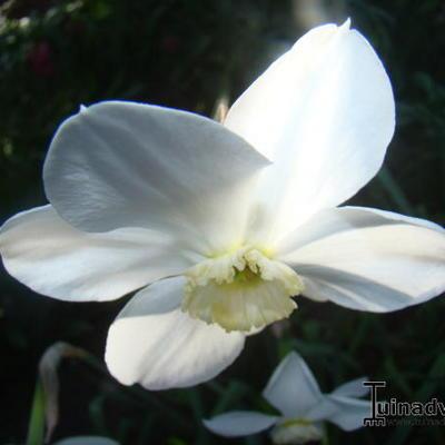 Narcissus poeticus 'Actaea' -