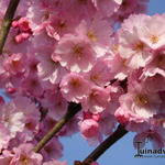 Prunus 'Accolade' - Prunus 'Accolade' - Sierkers