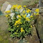 Aurinia saxatilis 'Compacta' - Schildzaad - Aurinia saxatilis 'Compacta'