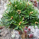 Abies koreana 'Wellenseind' -