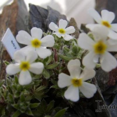 Androsace villosa -