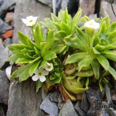 Androsace armeniaca var. macrantha -